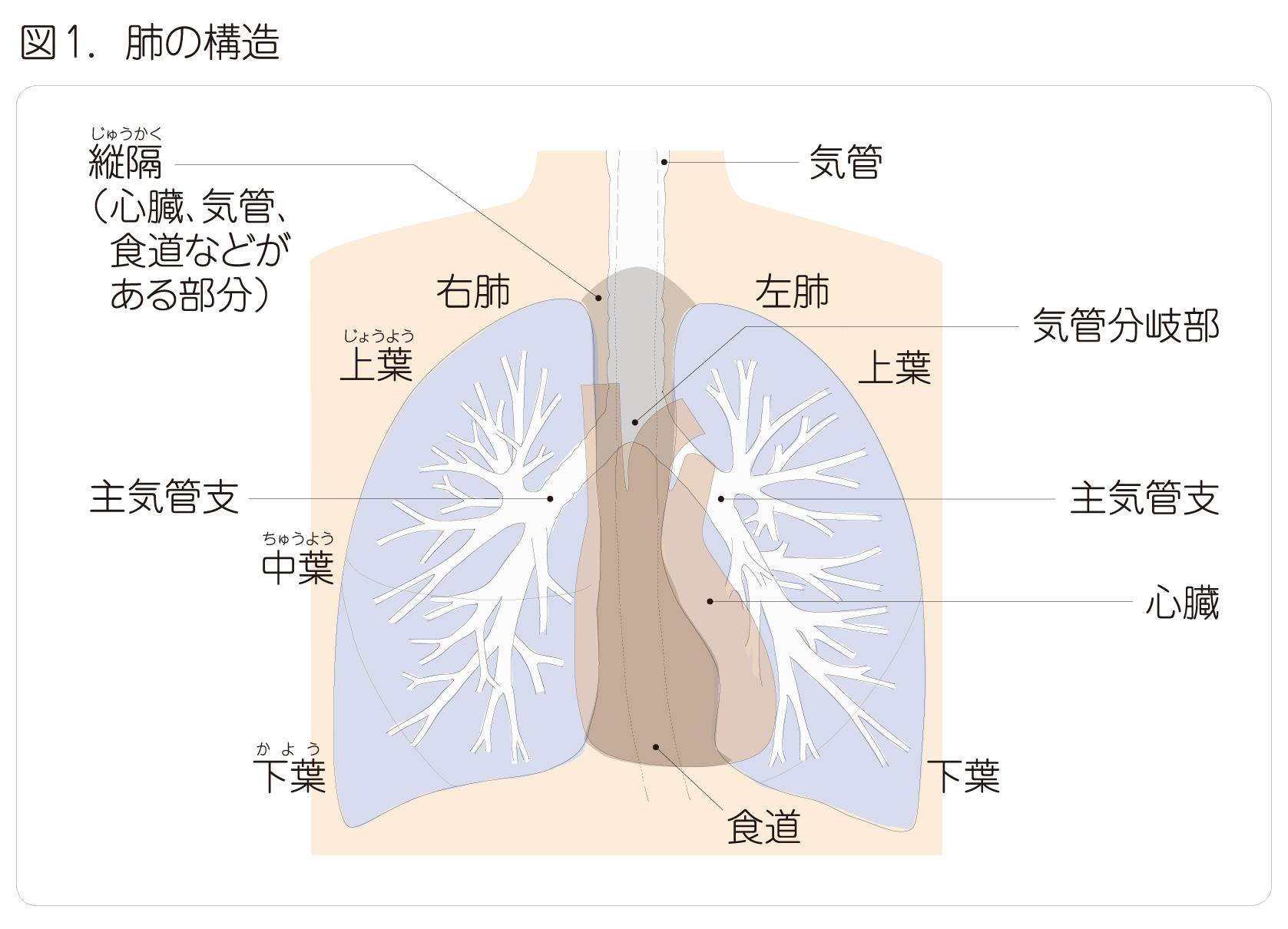 強く する 方法 肺 を